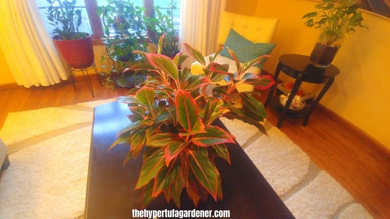image of view of living room with large Red Aglaonema