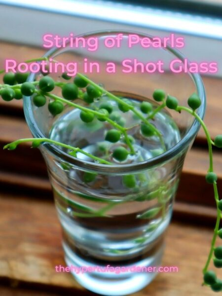 closeup image of String of Pearls chain rooting in water in a shot glass