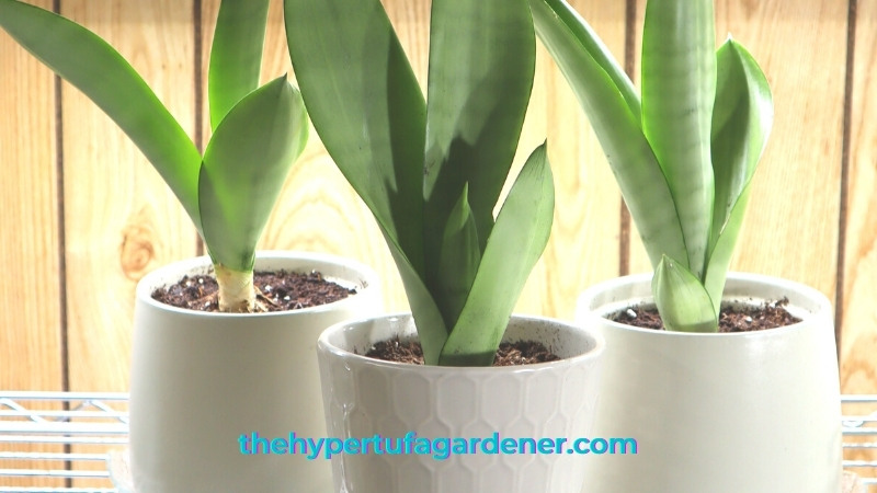 image of 3 pots of Moonshine Snake Plant, repotted by Kim