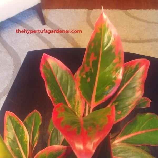 image of closeup on leaf of Red Aglaonema