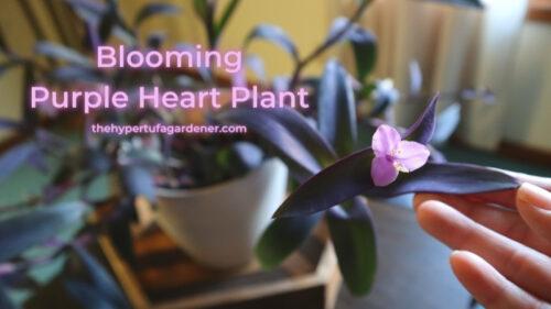 Beautiful Houseplants: Purple Heart or Tradescantia Pallida