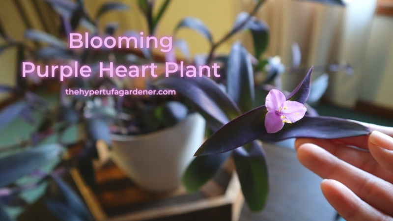 image of my hand holding blossom of Purple Heart Plant