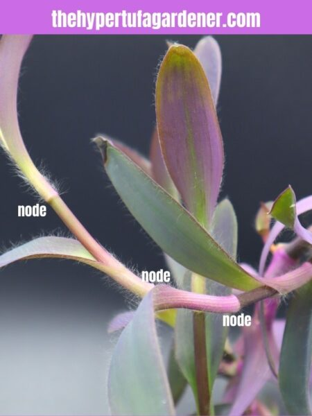 image of branch of Purple Heart plant showing nodes