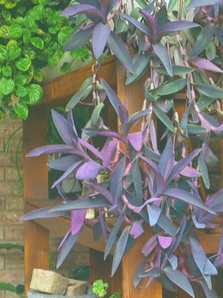 image of cascading Purple Heart Plant outside