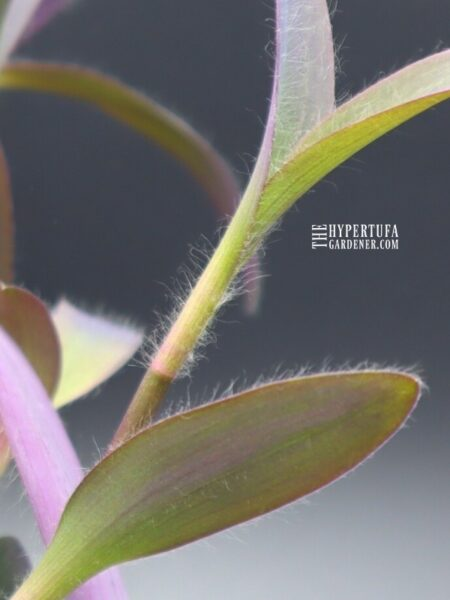 image upclose of hairs on the stems and leaves of Purple Heart Plant