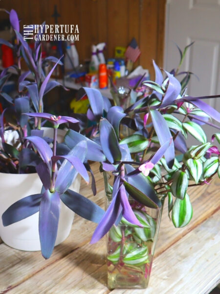 image of Purple Heart Plant with its cousin Wandering Jew (both Tradescantia)