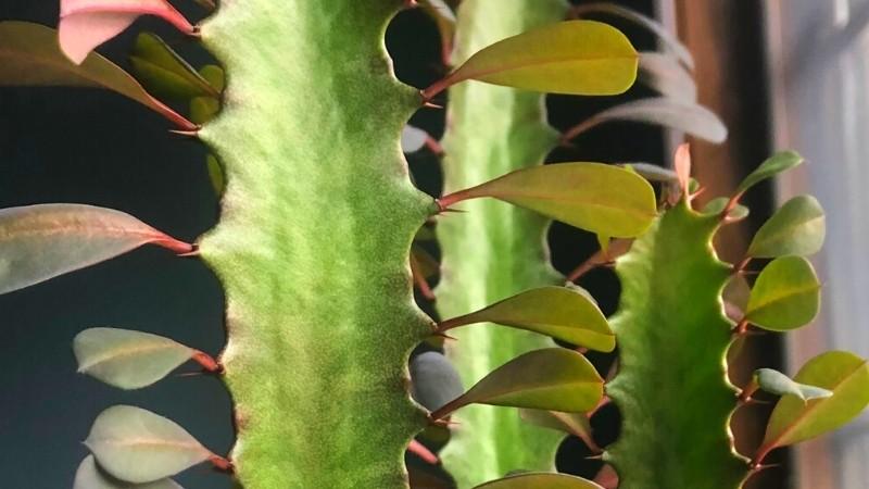 image of African Milk Tree leaves, thorns, columns