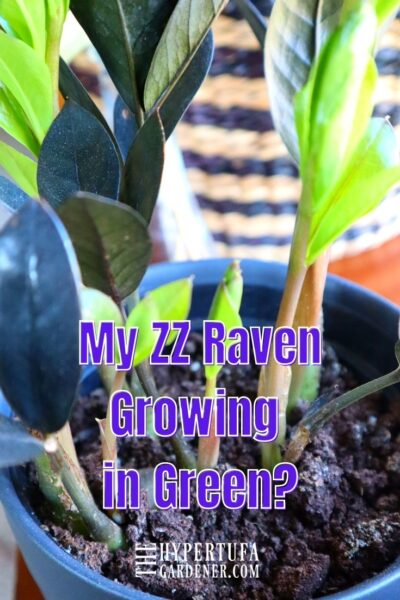 image of my green growth on a black raven zz plant