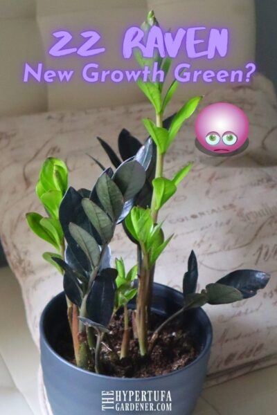 image of houseplant ZZ Raven with new growth a vivid green