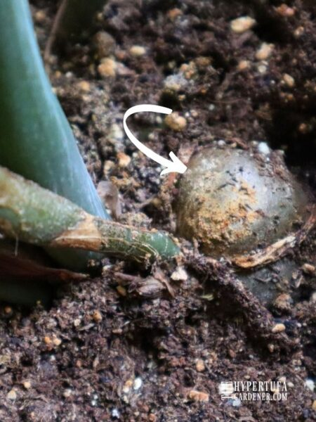 image of rhizome in ZZ Raven plant looking like a half buried potato in the soil