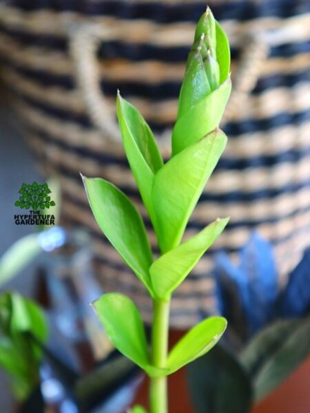 image of sturdy stem of zz raven plant in bright green