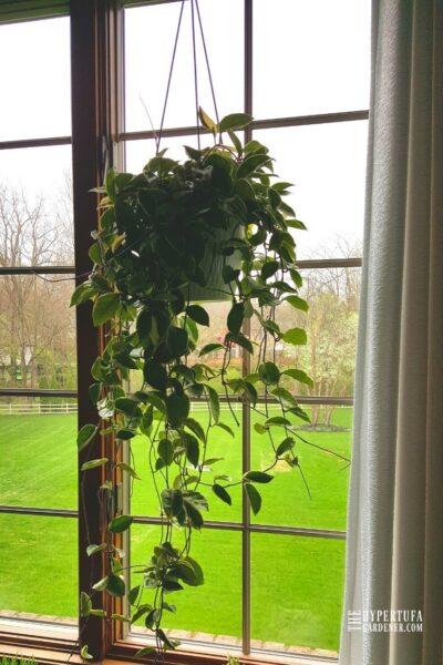 52 inch hoya carnosa plant blooming