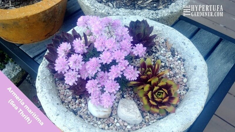 blooming Sea Thrift