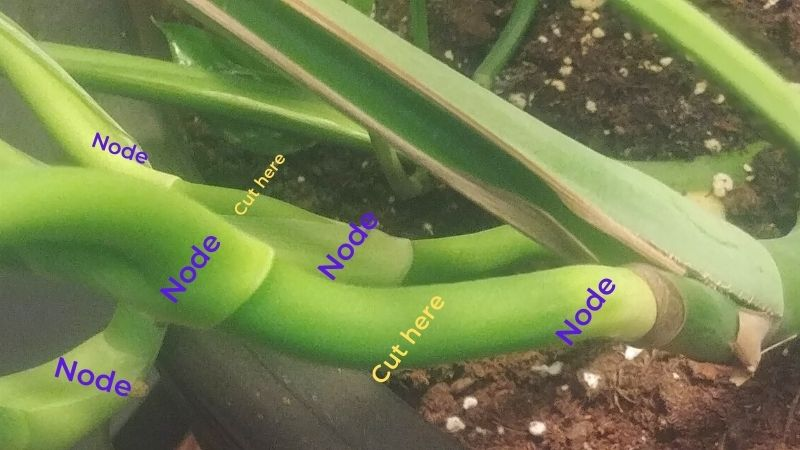 """stems of a large Monstera deliciosa plant with nodes and """"cut here"""" labels"""
