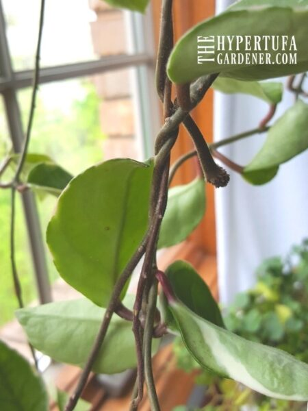 curling tendrils of the hoya wrapping around each other