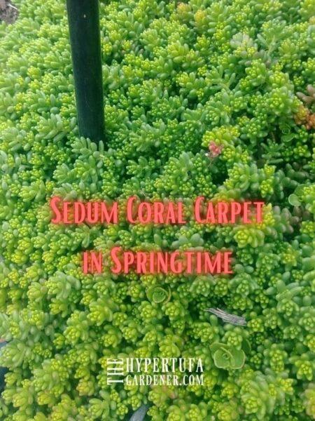 bed of Sedum Coral Carpet
