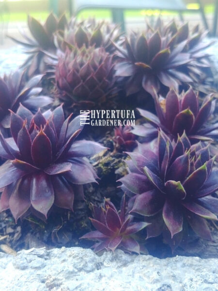Hens and chicks or sempervivum deep purple