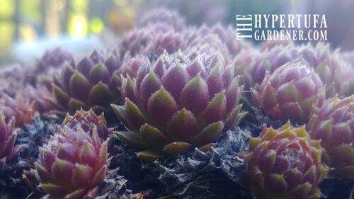Springtime In Hypertufa Pots – How Did The Plants Do?