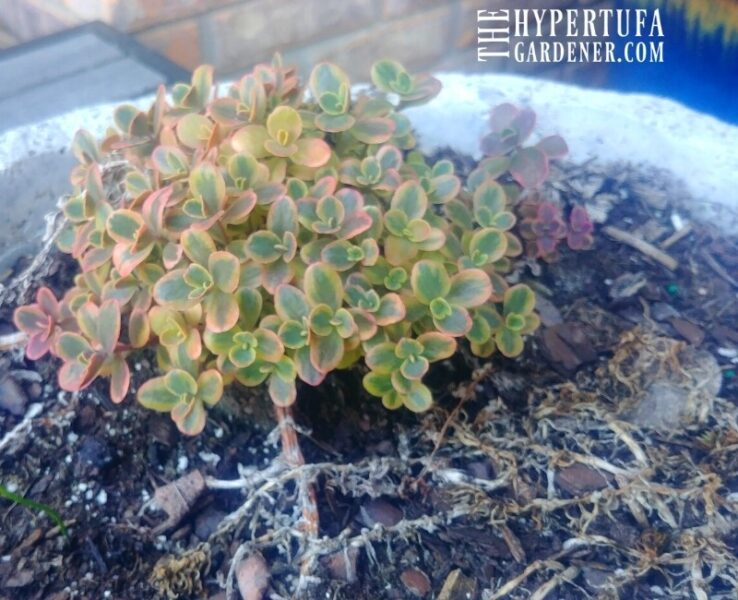 New sprouts of Sedum Wildfire