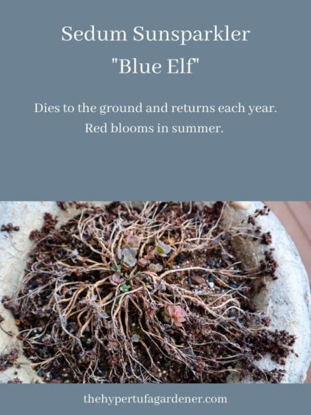 new sprouts of Sedum blue elf