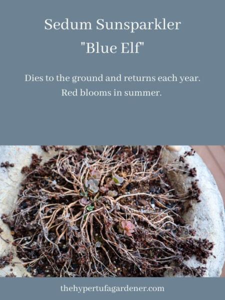new sprouts of Sedum blue elf
