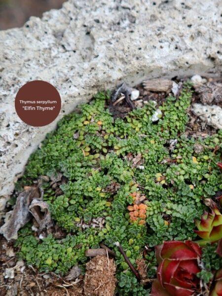 closeup of elfin thyme in hypertufa pot