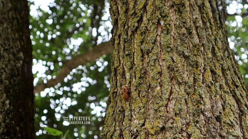 Lonely cicada exoskeleton on a tree