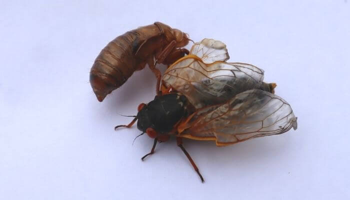 Cicada coming out of exoskeleton