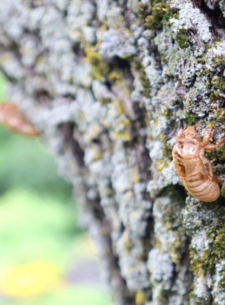 Cicadas exoskeletons left behind on tree trunk