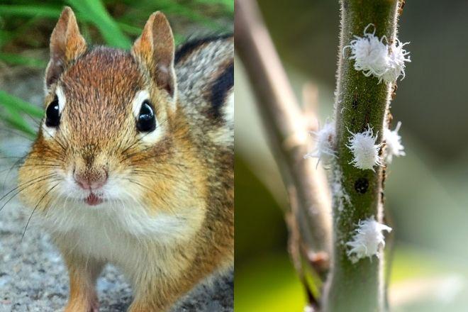 chipmunk & mealybugs pests