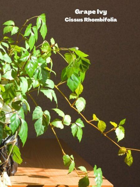 Grape Ivy Houseplant on table