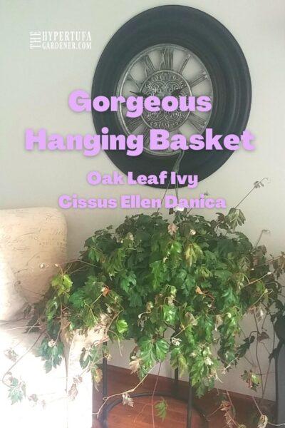 Large Oak Leaf Ivy sitting on table