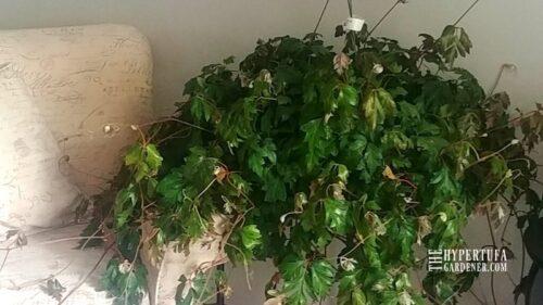 I Bought One Huge Oak Leaf Ivy!
