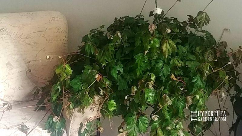 Oak Leaf Ivy Hanging Basket