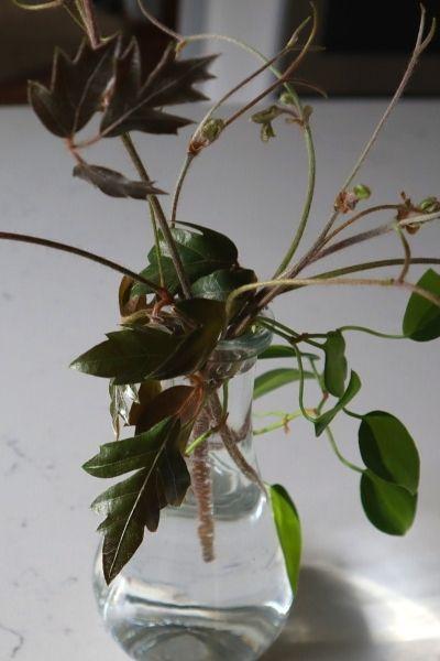 Oak leaf ivy cuttings in water