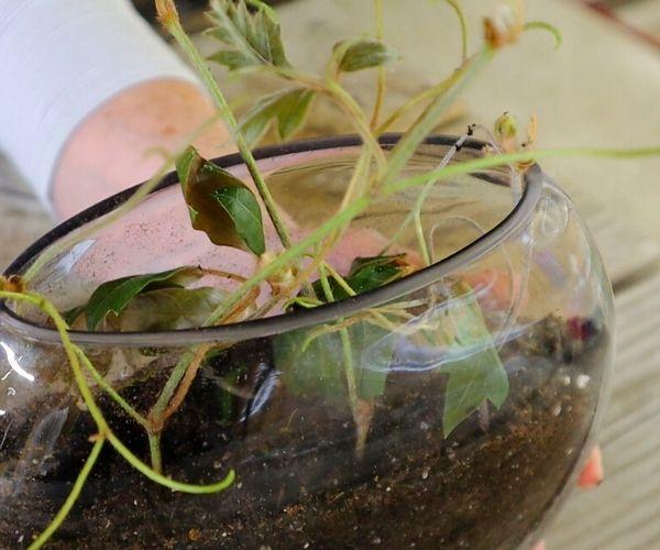 Oak Leaf Ivy in a glass bowl
