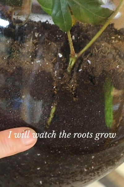 finger pointing at roots in glass pot