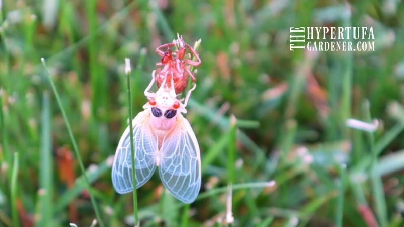 cicada on grass blade