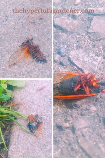dead and squished cicadas who bite!