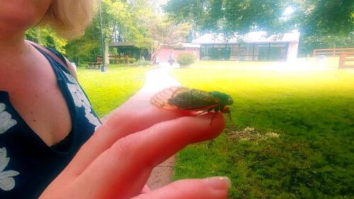 So Do Cicadas Bite?  Depends On What You Call Bite!