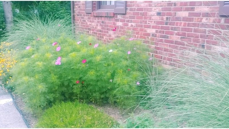 flower garden border with cosmos