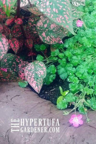 erodium with pink polka dot plants