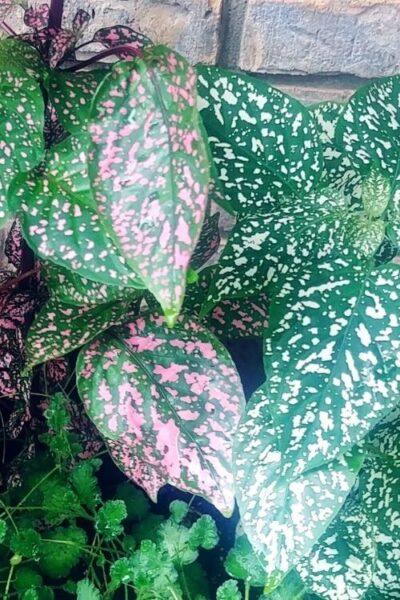 colorful polka dot plants