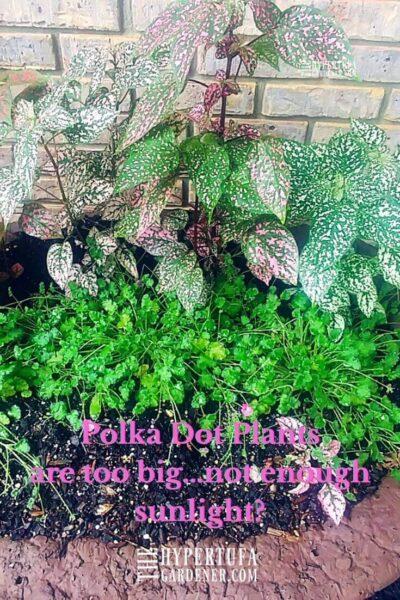 polka dot plants too big for planter of erodium