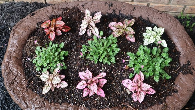 large hypertufa planted with erodium and polka dot plant