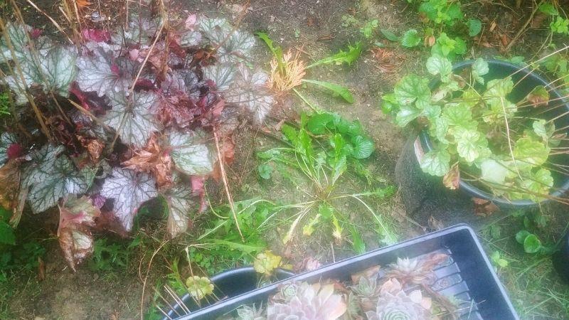 various types of heuchera plants waiting to go into the ground
